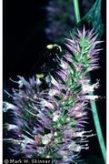 Agastache_Urticifolia