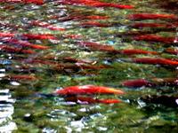 Sockeye_salmon